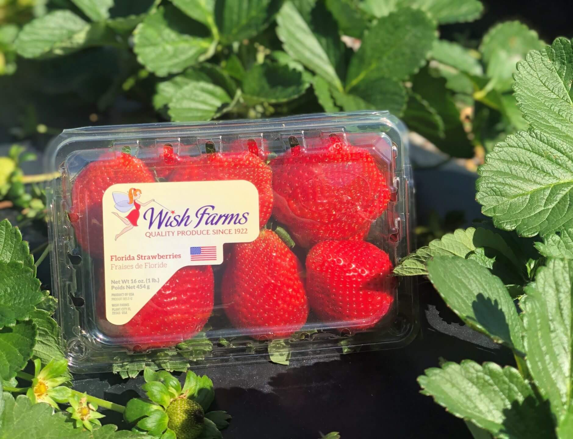 Wish Farms Giant Mega Berries in Field
