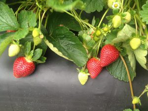 @wishfarms #strawberry #plant