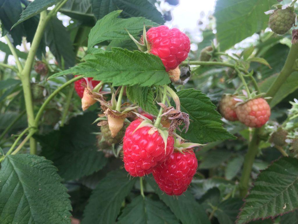 Close Up Wish Farms Raspberries US Grown Produce