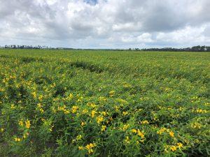 Yellow Sun Hemp Blooms FL Strawberry Off Season