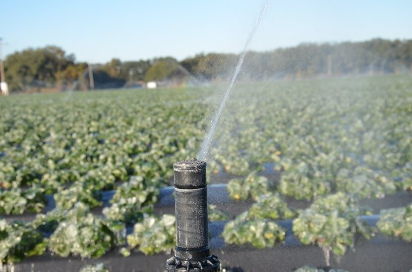 Freezing florida strawberries through overhead irrigation