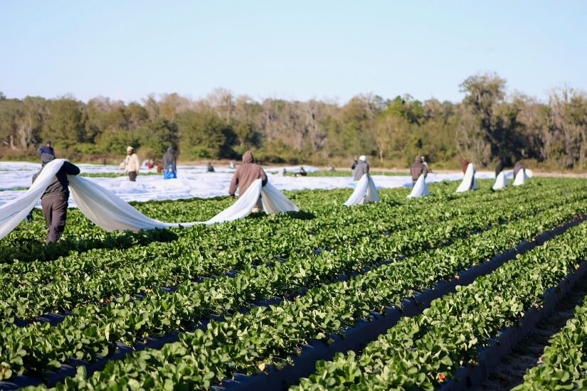 Florida strawberry growers preparing for cold temperatures
