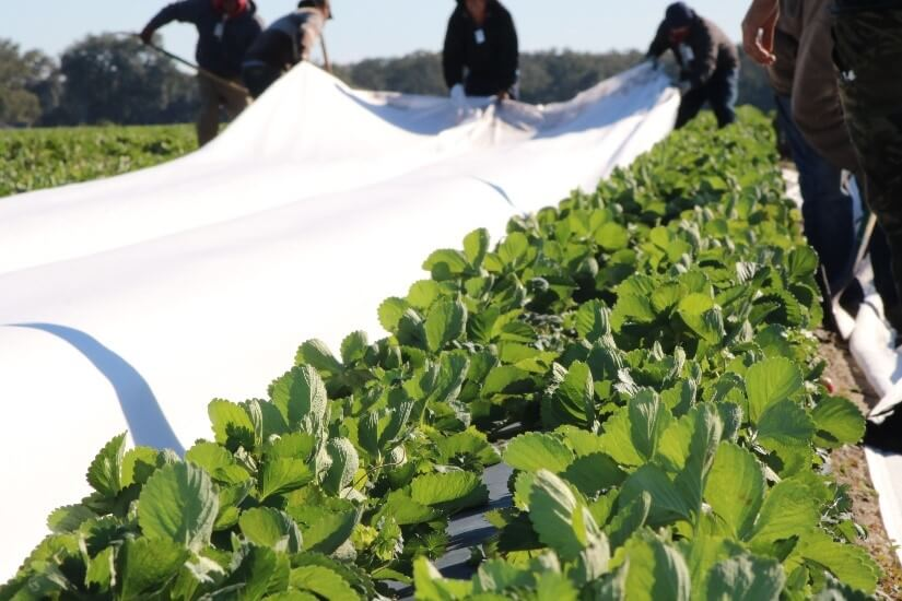 Florida strawberry growers in the cold