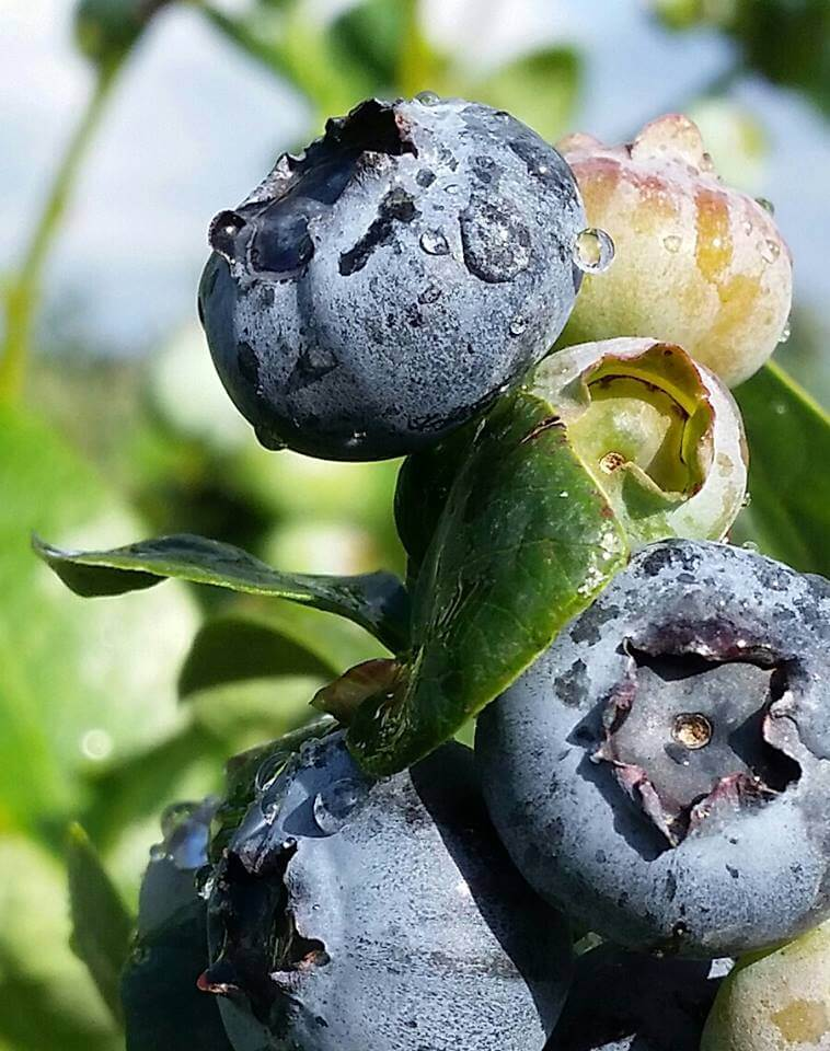 blues berry
