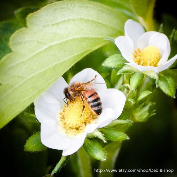Why Bees are Important to Strawberry Grower Wish Farms